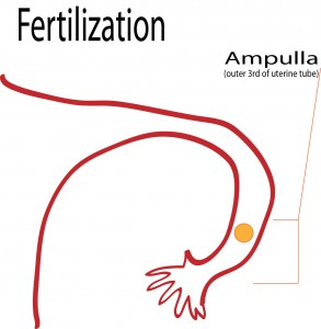 where does fertilization occur, ampulla, outer third