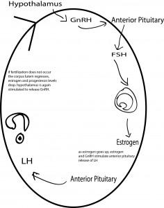 menstrual cycle animation
